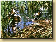Чомги, Great Crested Grebes. Фото 900х650 (83kb) Показать?