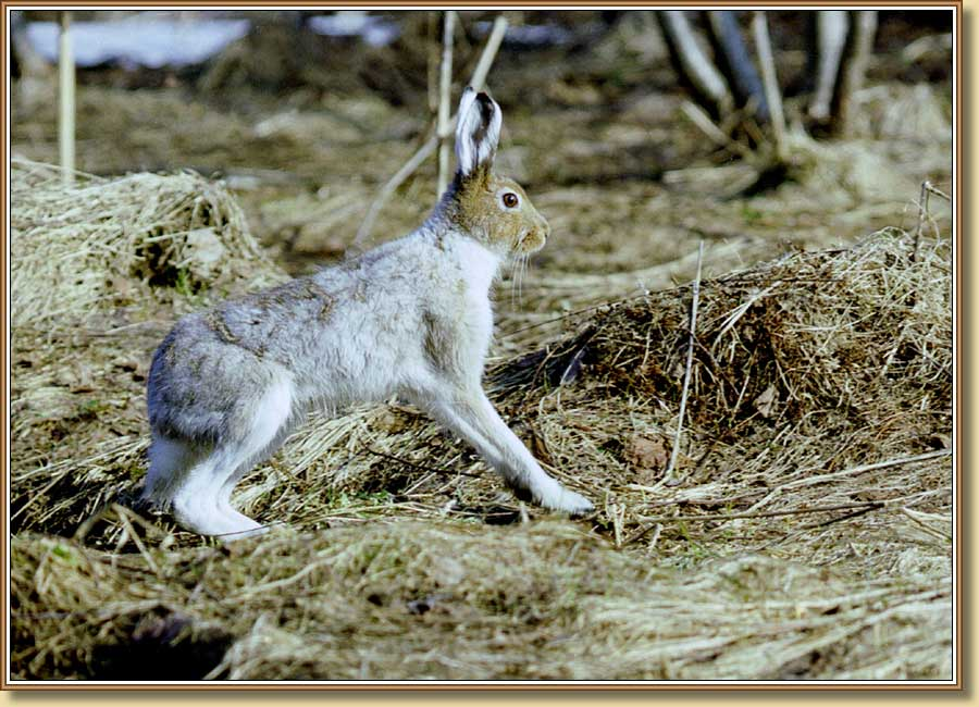 Заяц-беляк, Blue or mountain hare. Фото 900x650 (104kb)