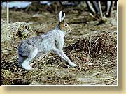 Заяц-беляк, Blue or mountain hare. Фото 900х650 (104kb)
