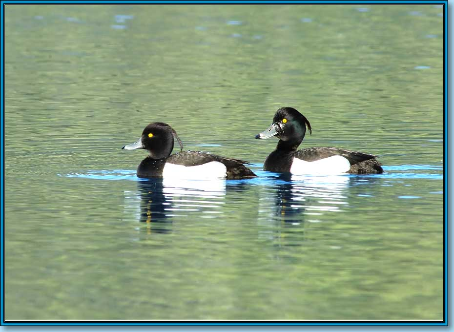 Хохлатая чернеть, Tufted Duck (Tufted Pochard), Aythya fuligula Linnaeus. Фото 930х680 (63kb)