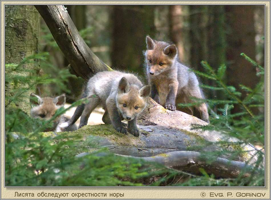 Лисята, Young foxes, Fox-cubs, Vulpes vulpes. Фото 950х700 (92kb)