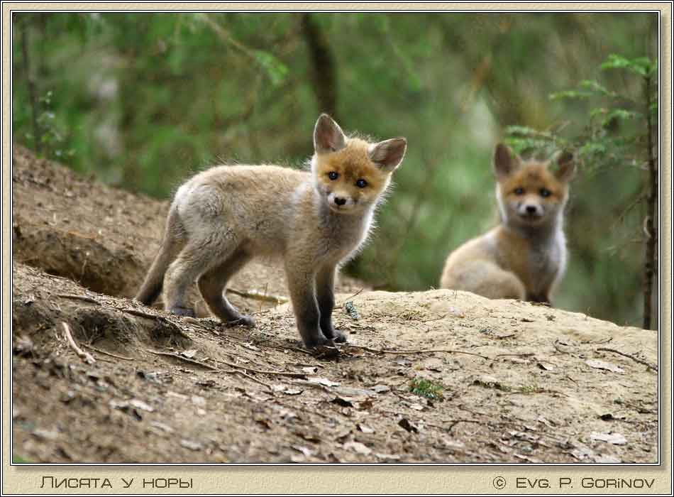 Лисята, Young foxes, Fox-cubs, Vulpes vulpes. Фото 950х700 (62kb)
