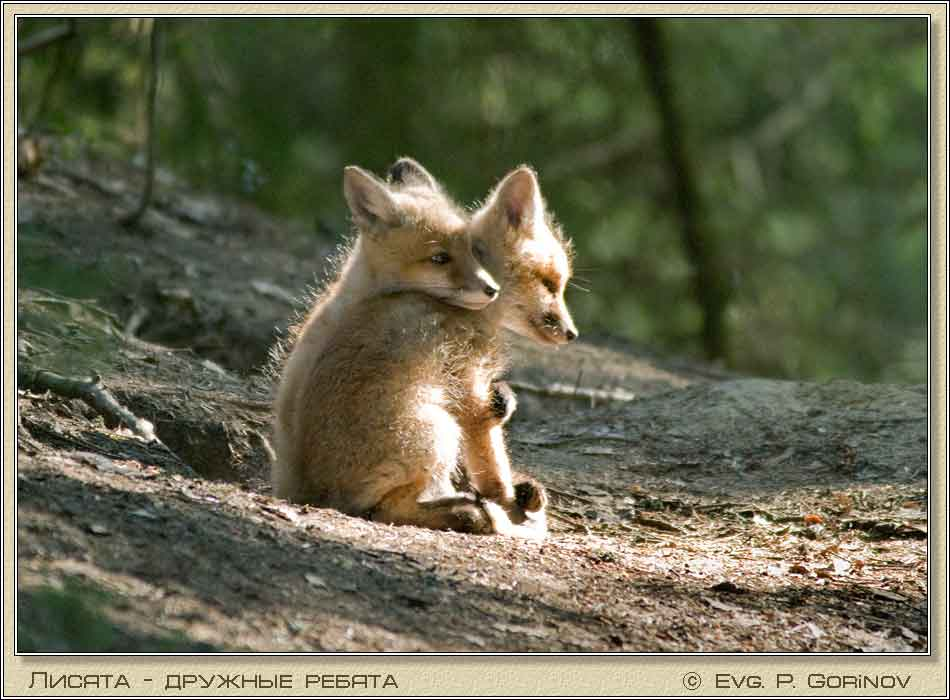 Лисята, Young foxes, Fox-cubs, Vulpes vulpes. Фото 950х700 (59kb)