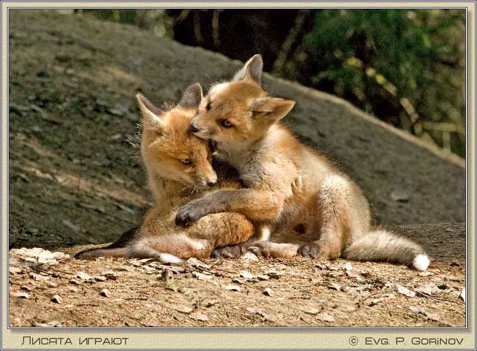 Лисята, Young foxes, Fox-cubs, Vulpes vulpes. Фото 950х700 (73kb)