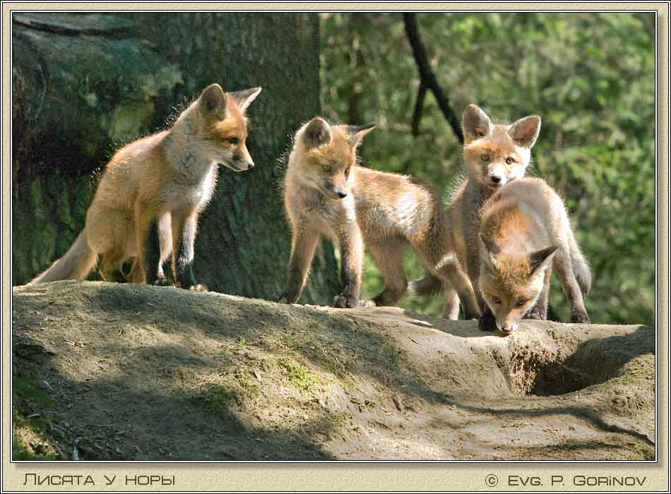 Лисята, Young foxes, Fox-cubs, Vulpes vulpes. Фото 950х700 (69kb)
